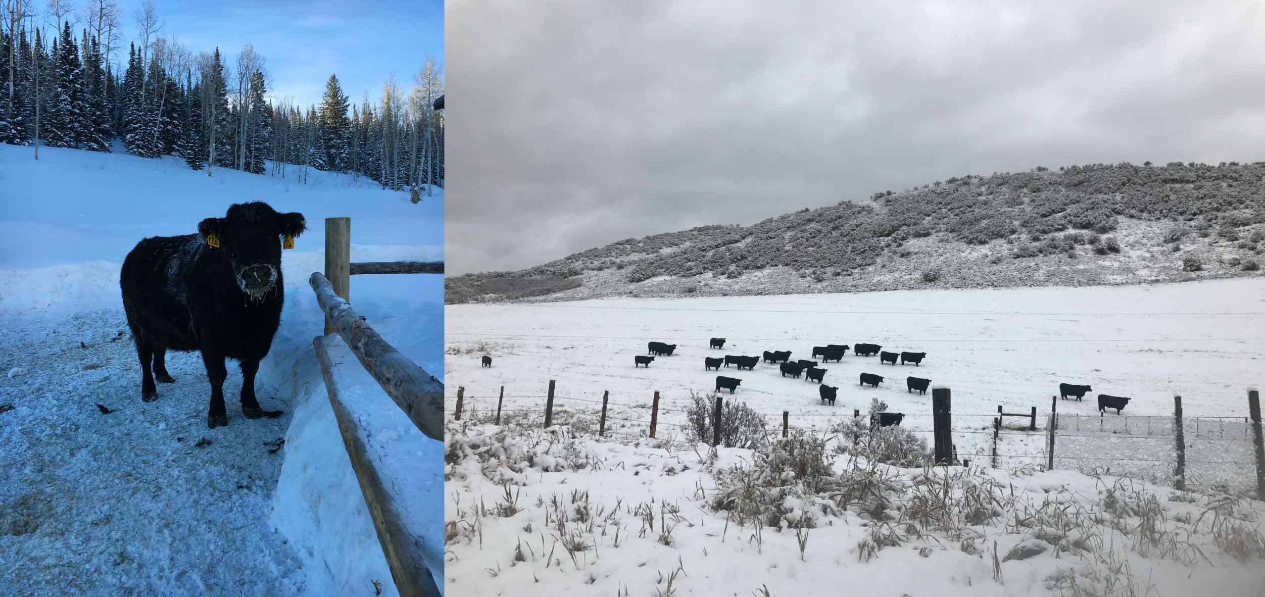 Good-Hope-Cattle-Cows-Winter